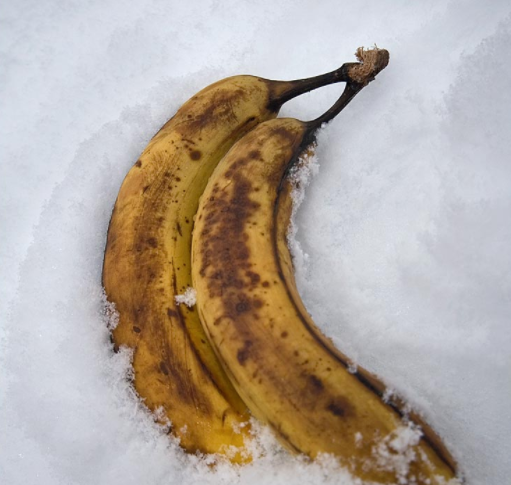 Bananas in the Snow…